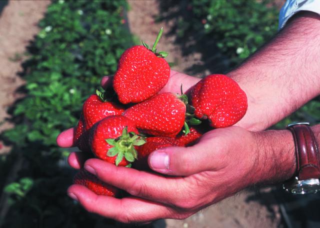 californiastrawberries