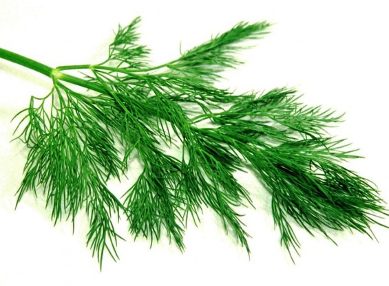 Dill. Photo from gastrovia.com.br, via Google Advanced Image Search. Some rights reserved.