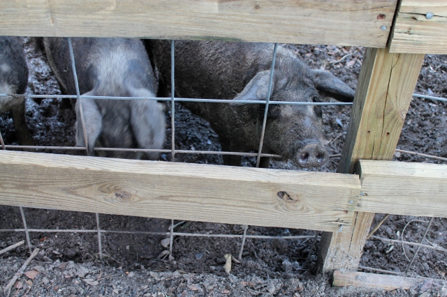 Berkshire Pigs at La Provence. Photo by Gisele Perez.