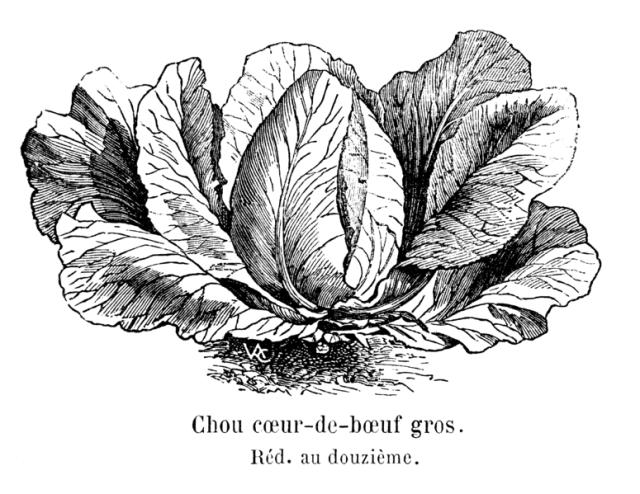 Vilmorin-Andrieux & Cie, 1904. Les plantes potagères. Description et culture des principaux légumes des climats tempérés. ed. 3. Paris, Vilmorin-Andrieux. fig., XX-804 p.