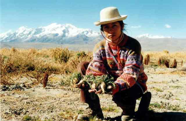 Katia Humala-Tasso Récolte de Maca à Belen (station expérimentale de la Faculté d'Agronomie de l'Université San Andrés de La Paz)près d'Achacachi (Bolivie)- 3 juin 2000. Photo: Pierre-Olivier Combelles.
