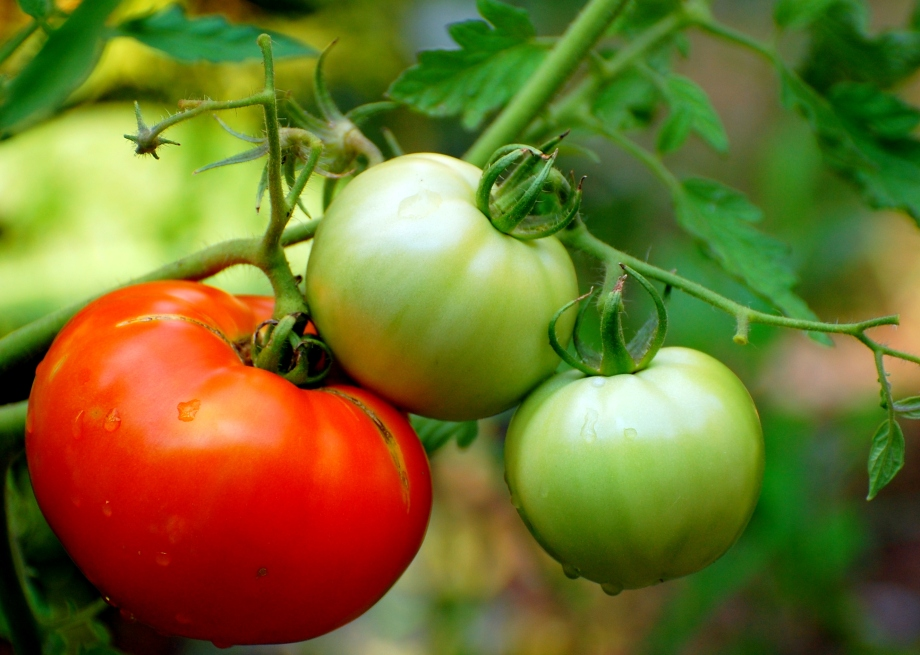 Recipe: Jars of Pickled GreenTomatoes